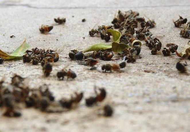37 milioni api morte