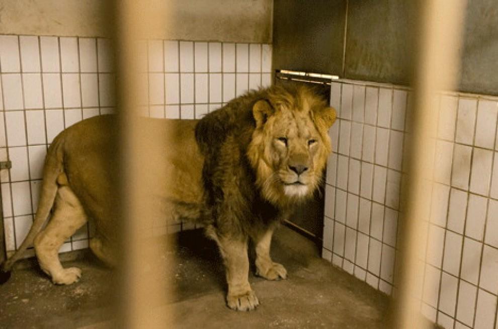 leoni-zoo-uccisi