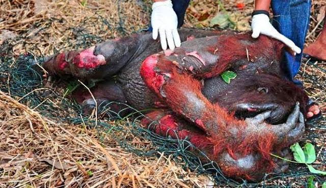 salviamo-gli-oranghi-no-olio-di-palma