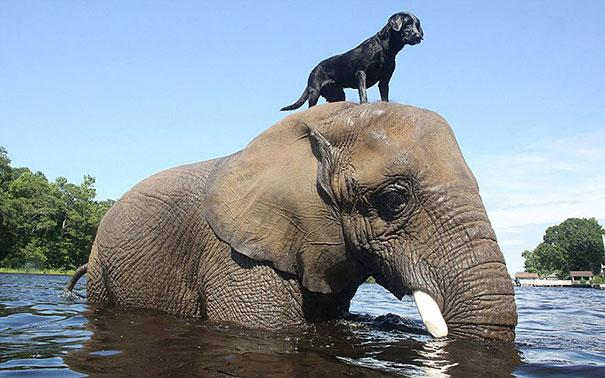 Un Labrador Retriever e un elefante africano - coppie di animali improbabili