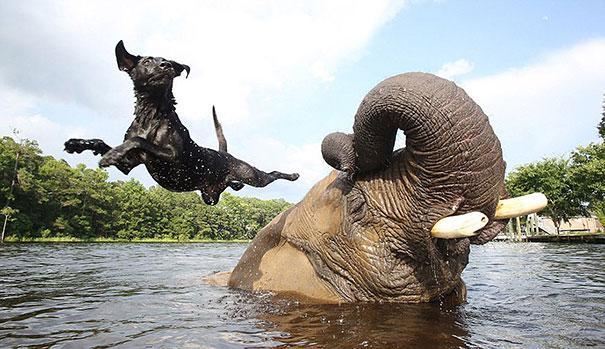 Un Labrador Retriever e un elefante africano