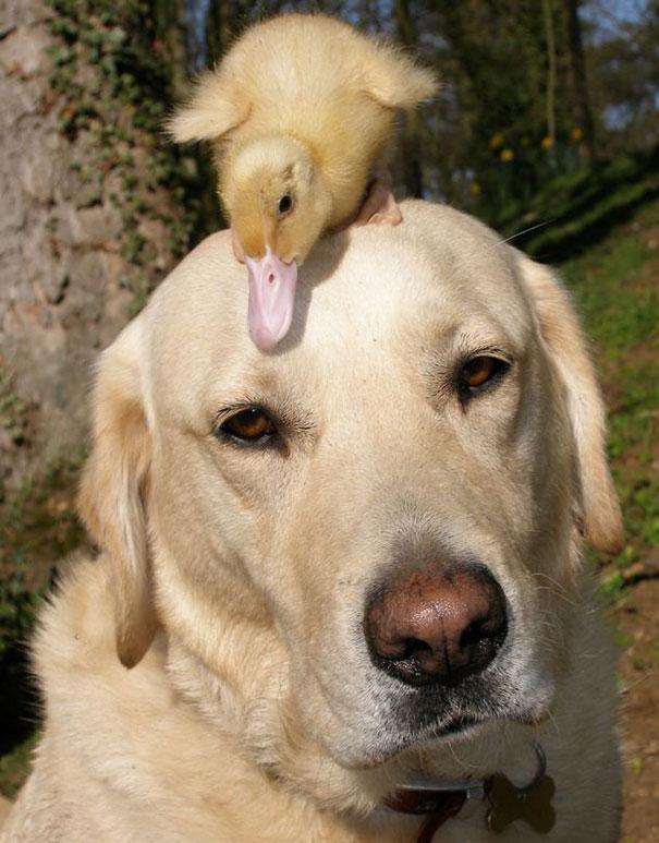 Un Labrador e un anatroccolo - coppie di animali improbabili