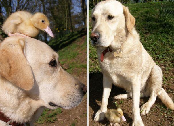 Un Labrador e un anatroccolo