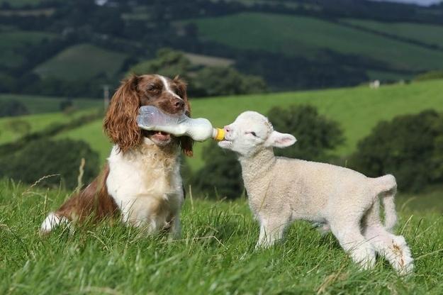 Un agnellino e un cane - coppie di animali improbabili