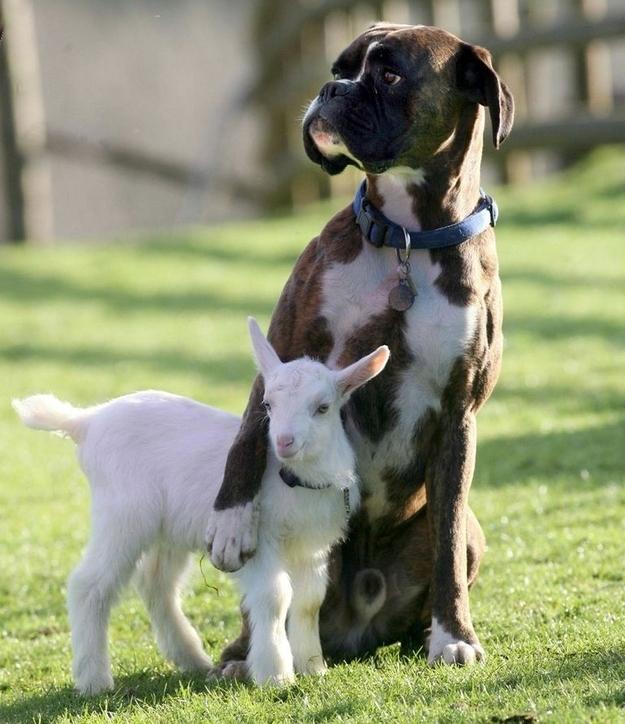 Un boxer e una capretta - coppie di animali improbabili