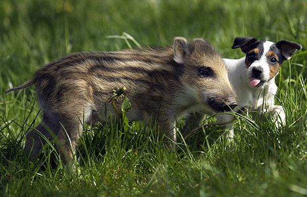 Un cane e un cucciolo di cinghiale - coppie di animali improbabili