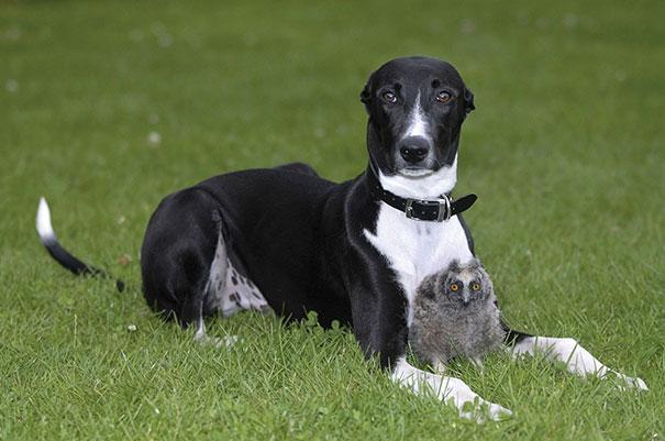 Un cane e un gufo - coppie di animali improbabili