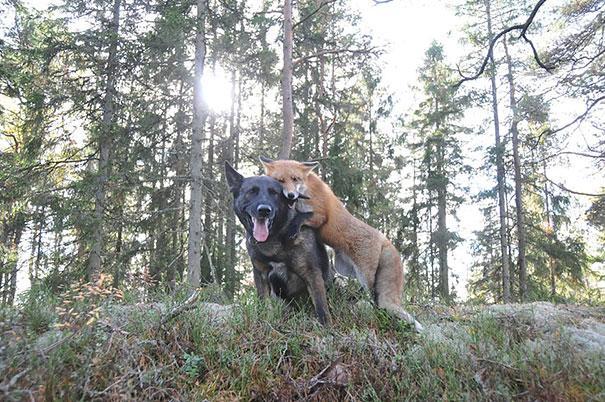 Un cane e una volpe selvatica - coppie di animali improbabili