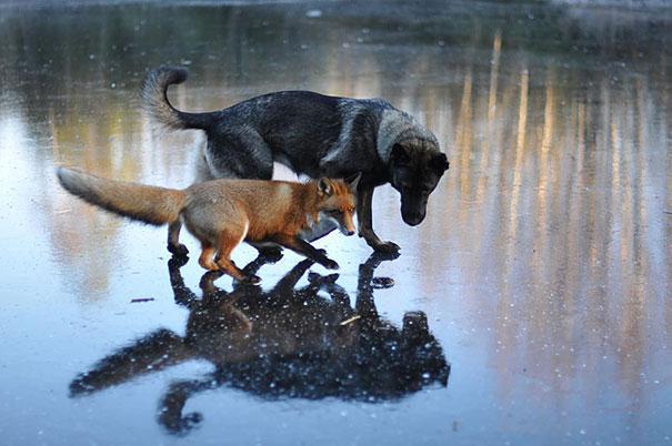 Un cane e una volpe selvatica