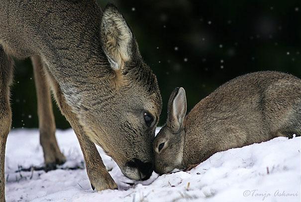 Un coniglio e un cervo - coppie di animali improbabili