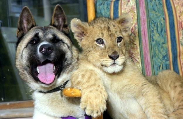 Un cucciolo di leone e un cane - coppie di animali improbabili