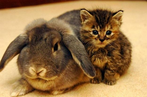 Un gattino e un coniglietto - coppie di animali improbabili