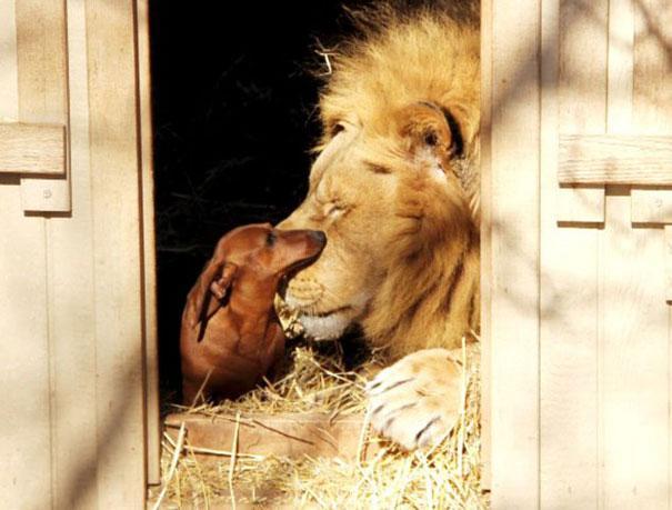 Un leone e un cane - coppie di animali improbabili