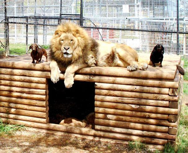 Un leone e un cane