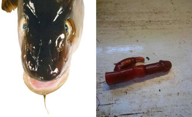 Un pescatore norvegese trova un vibratore nello stomaco di un merluzzo - 1