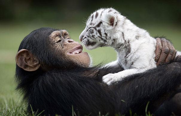 Una scimmia con un cucciolo di tigre bianca - coppie di animali improbabili