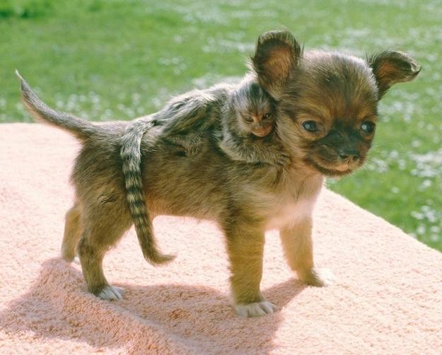 Una scimmietta e un cucciolo di Chihuahua - coppie di animali improbabili