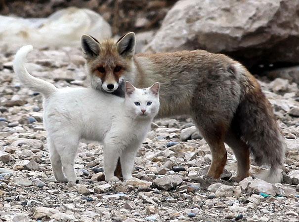 Una volpe e un gatto - coppie di animali improbabili