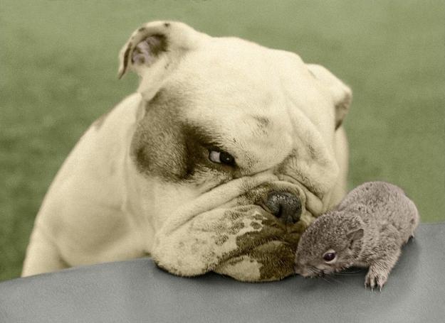 un bulldog e uno scoiattolino - coppie di animali improbabili
