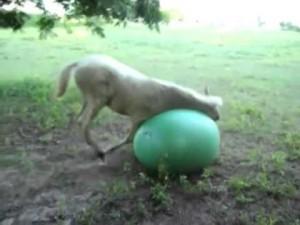 cavallino gioca con palla yoga