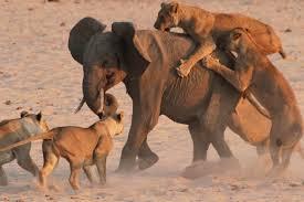 elefante e leoni