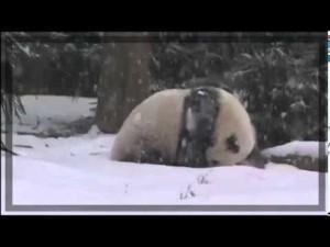 Panda e neve