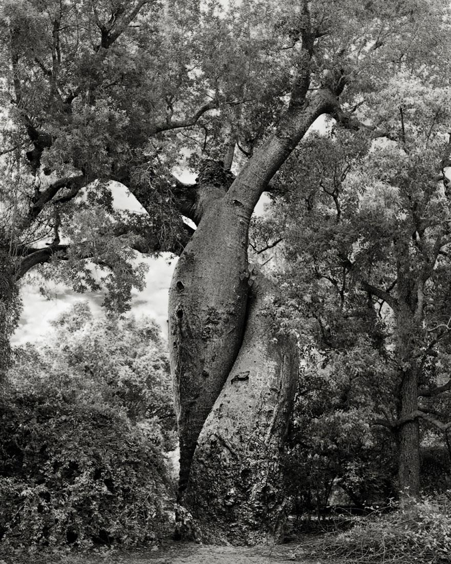 oldest-trees-beth-moon-13